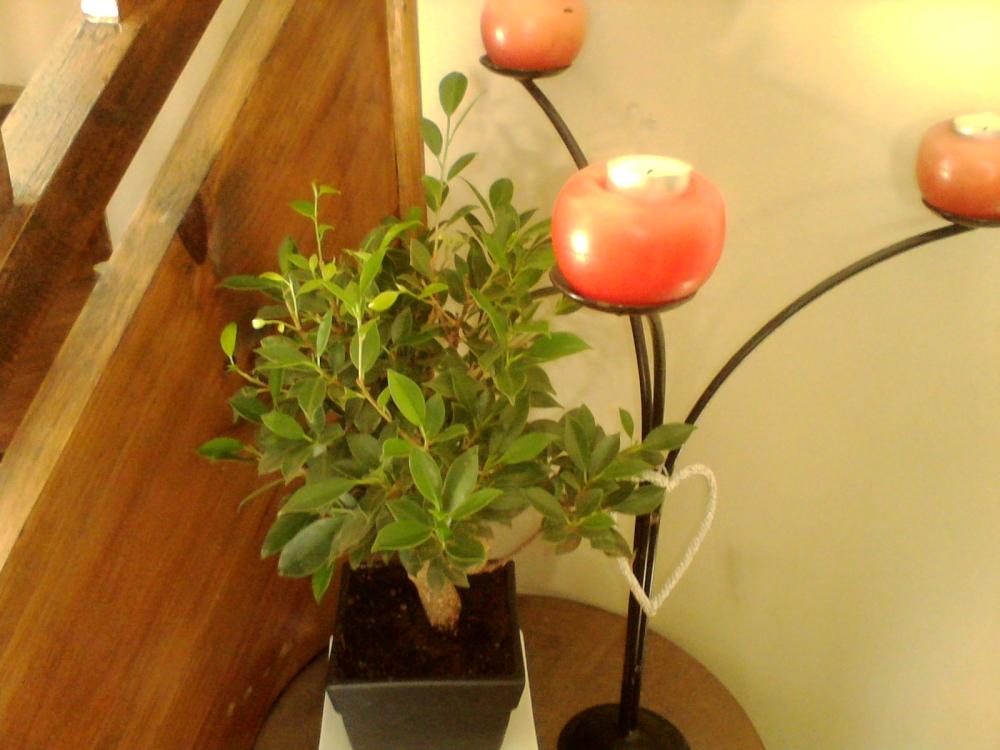 My newest bonsai - Ficus Macrocarpa