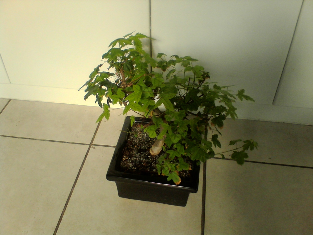 My maple bonsai