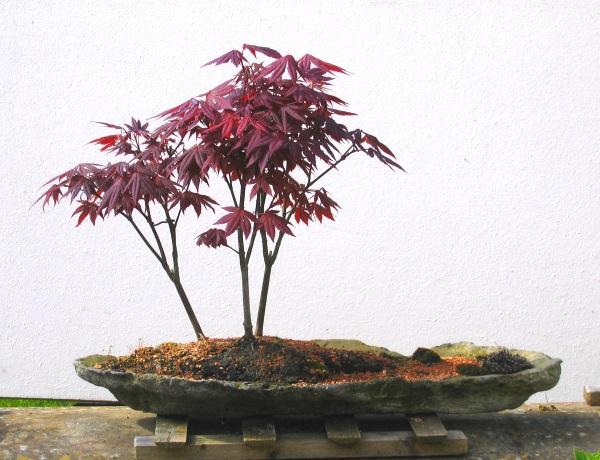 Acer Palmatum  Atropurpureum Group planting