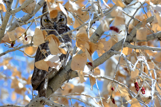 Great Horned Owl - Piedras Marcadas
