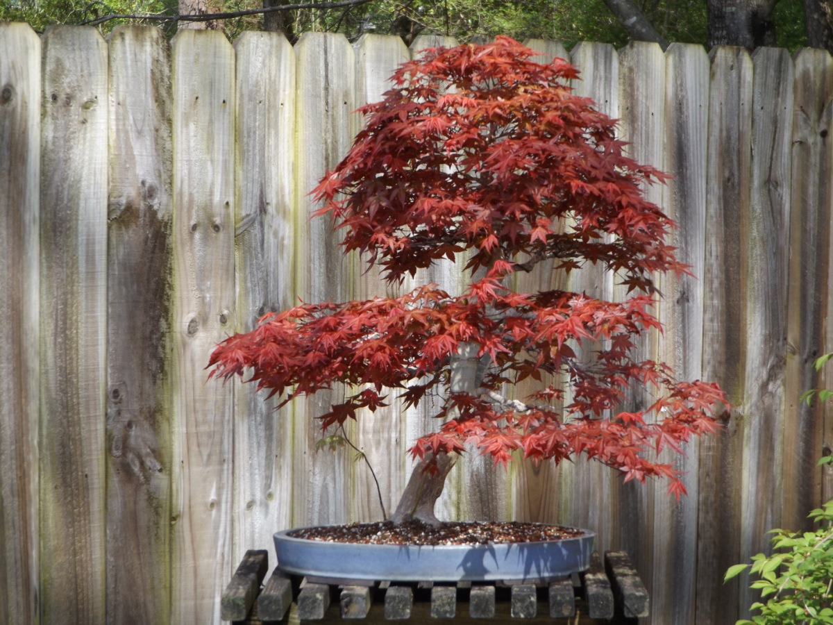 The cycle continues:  Chishio JapaneseMaple