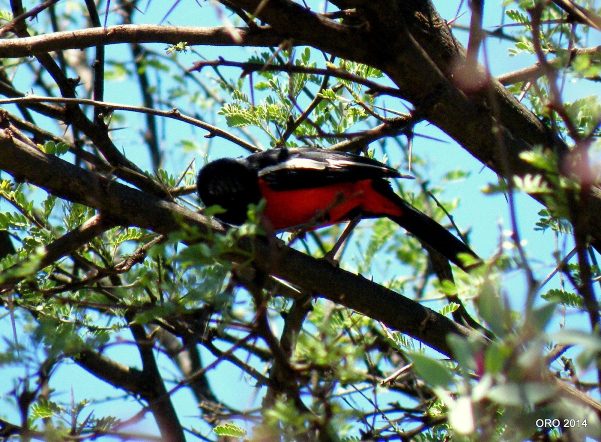 Crimson-Breasted Shrike (Laniariusatrococcineus)