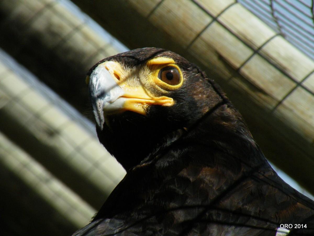 Verreaux's Eagle (Aquila verreauxii) – 3stories