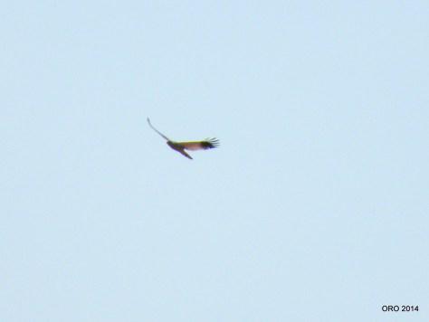 2-162 Bleeksingvalk (Mokale park) 09 (4)