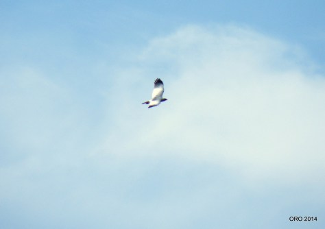 3-162 Bleeksingvalk (Mokale park) 09 (8)