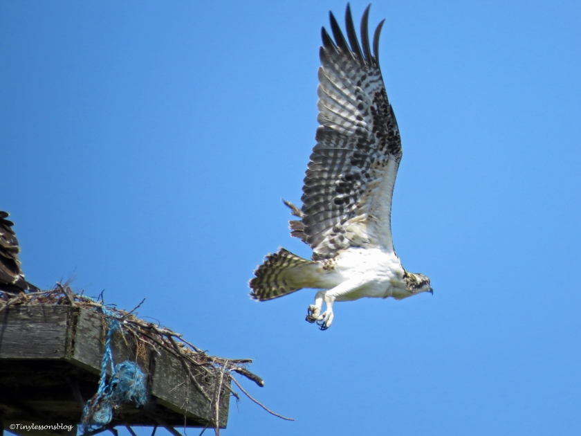 osprey chick leaves for somr flight practice Sand Key Park Clearwater Florida