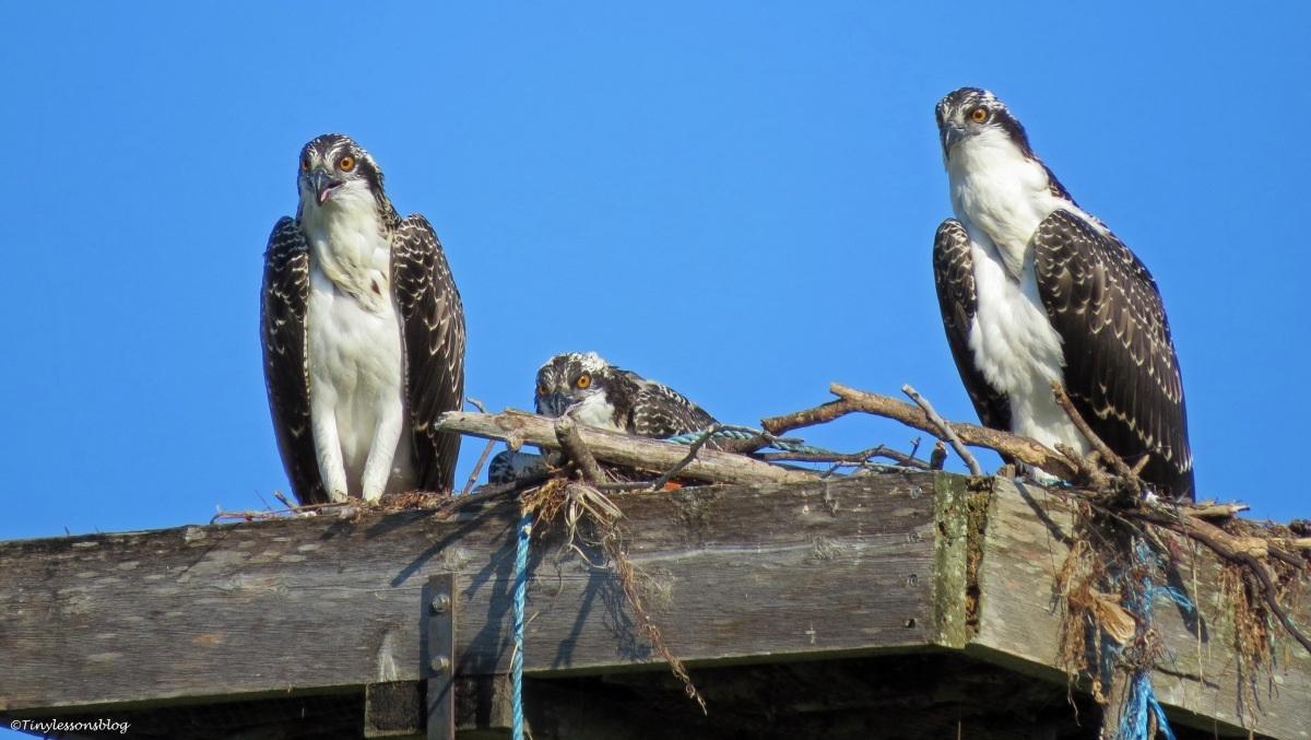 Child Care Issues. And Other Interesting Dynamics in the Osprey Family.