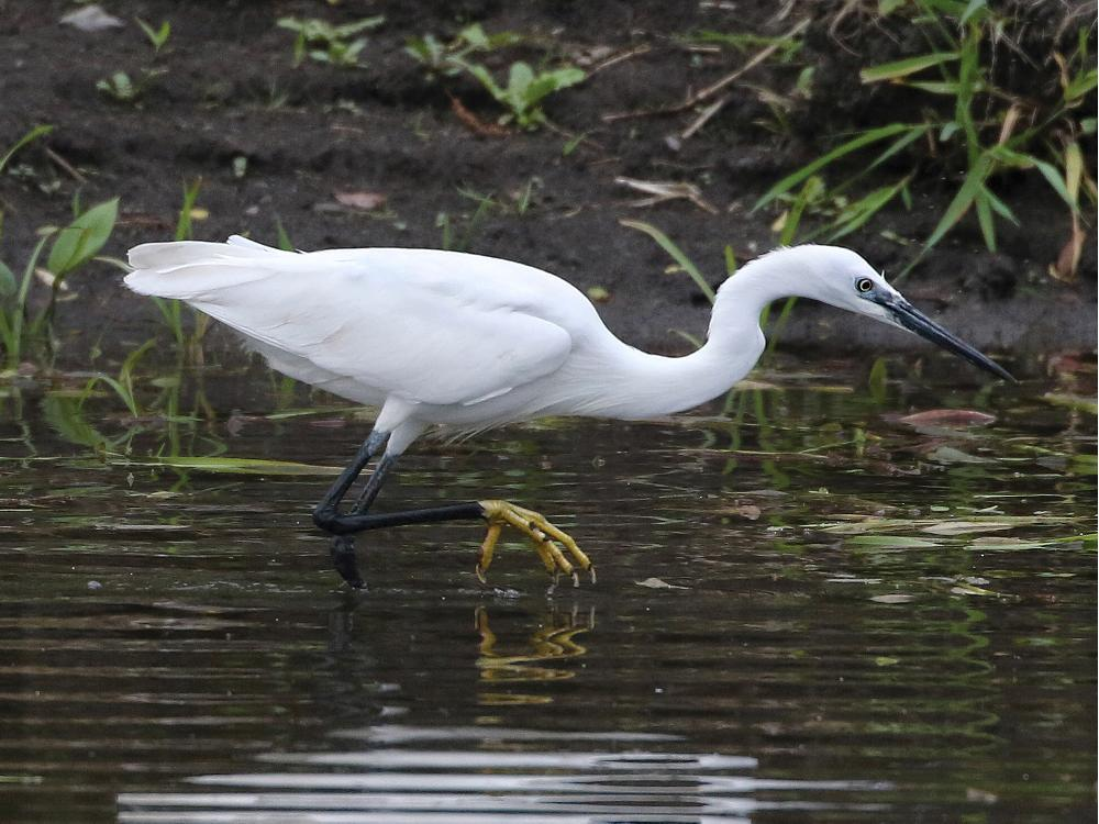 Little Egret record an Ontario first