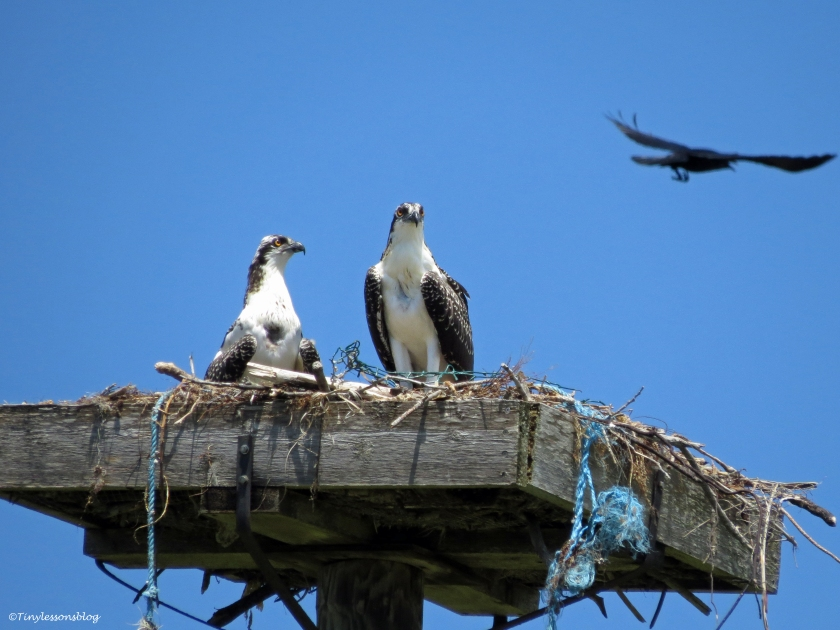 smallest osprey chick with her big brother Sand Key Park Clearwater Florida