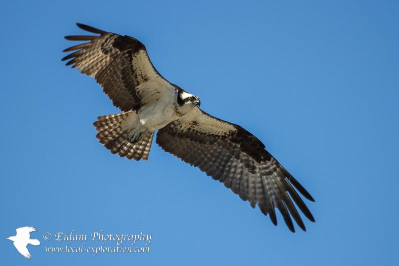 Photo Shoot –Ospreys