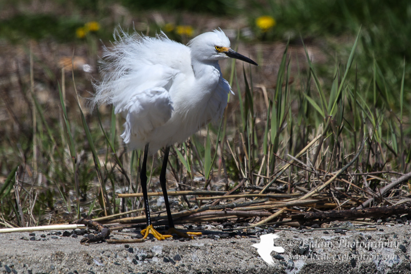 Photo Shoot – Snowy Egrets