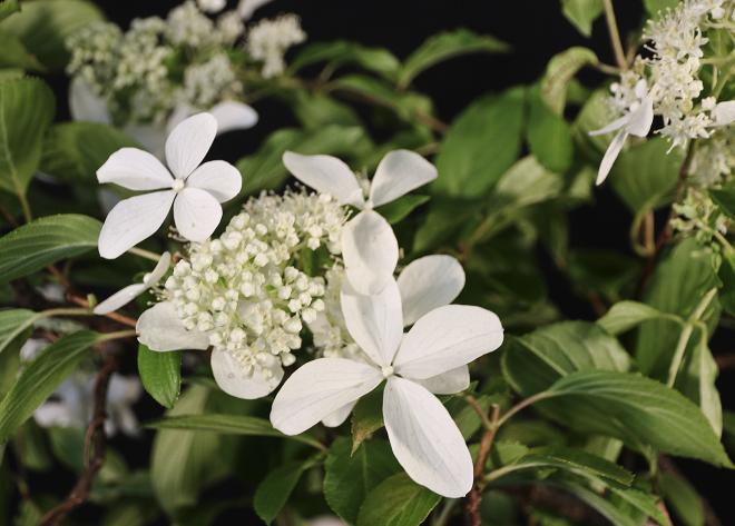 HYDRANGEA FLOWER 2