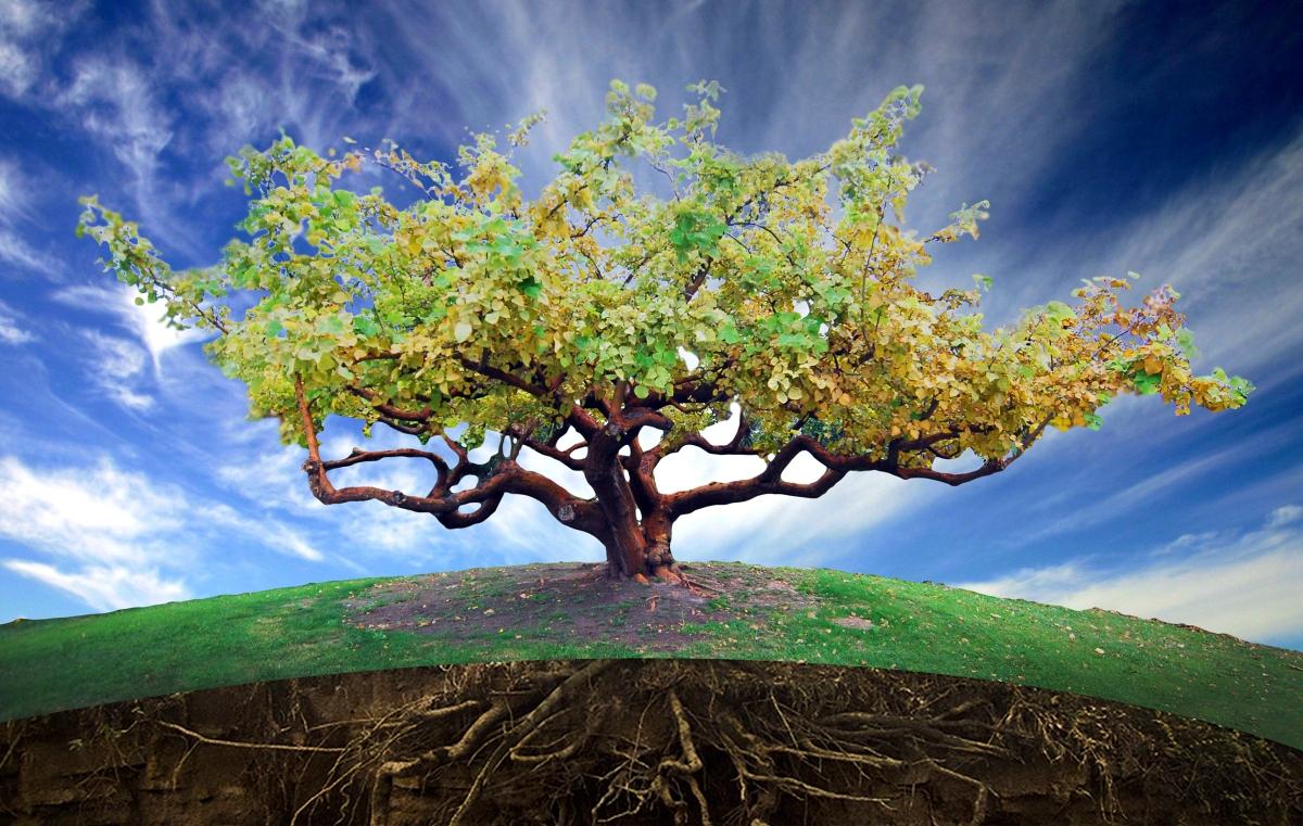 How to Propagate a Coastal Coral Tree (ErythrinaCaffra)