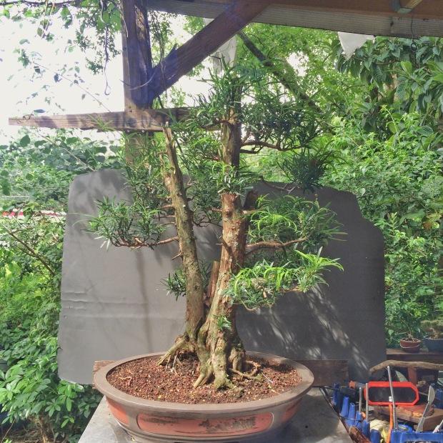 Podocarpus Podo Crazy Wolf S Birding And Bonsai Blog