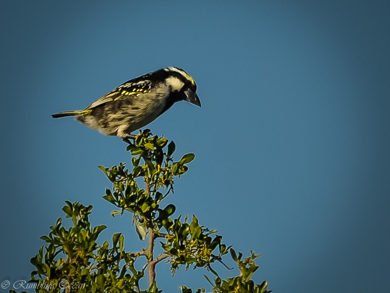 Pied Barbet and other thoughts