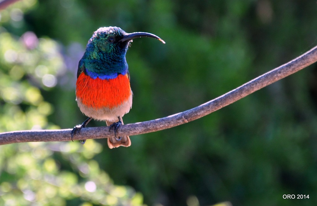 Greater double-collared Sunbird (Cinnyrisafrea)