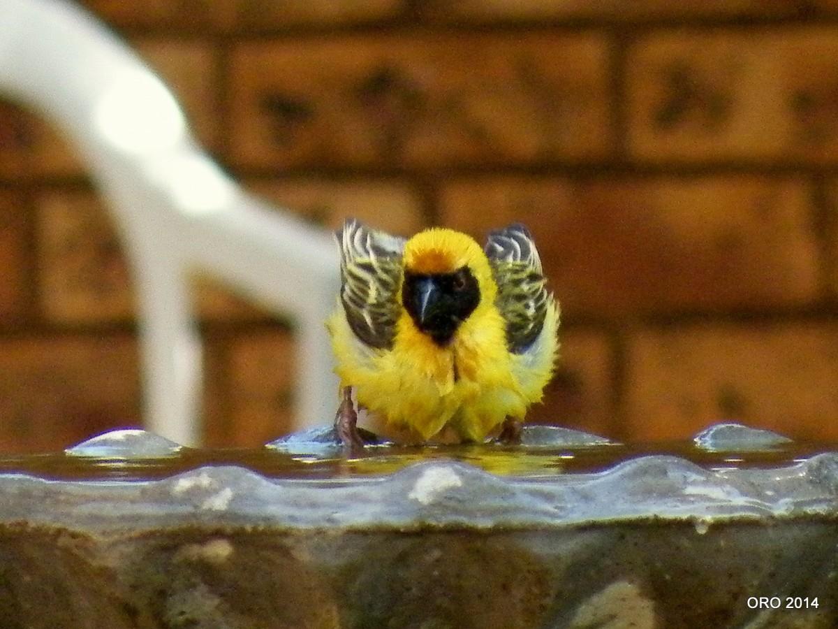 Southern Masked Weaver (Ploceusvelatus)