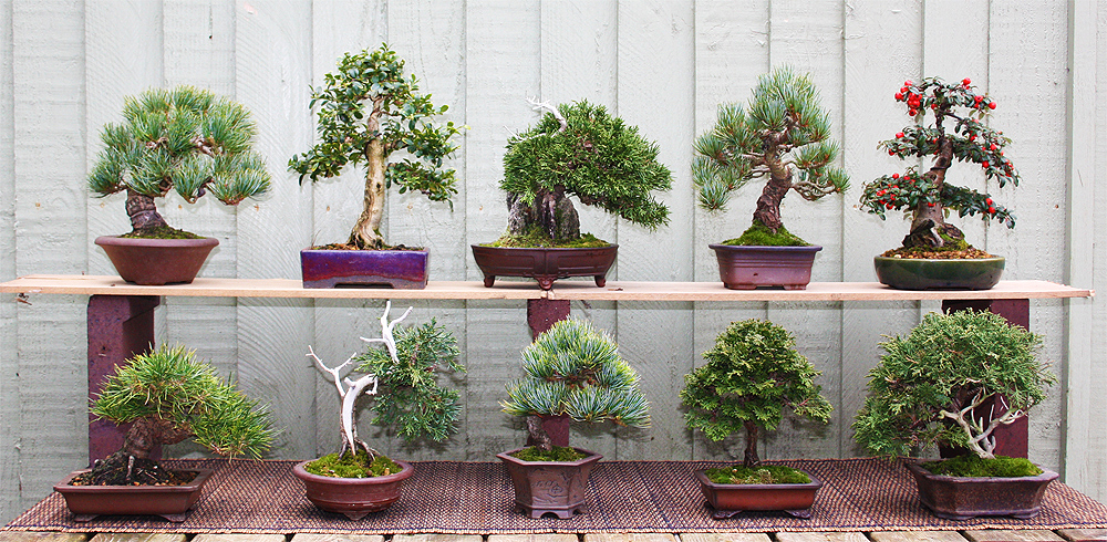 Some of My Evergreen Shohin Trees