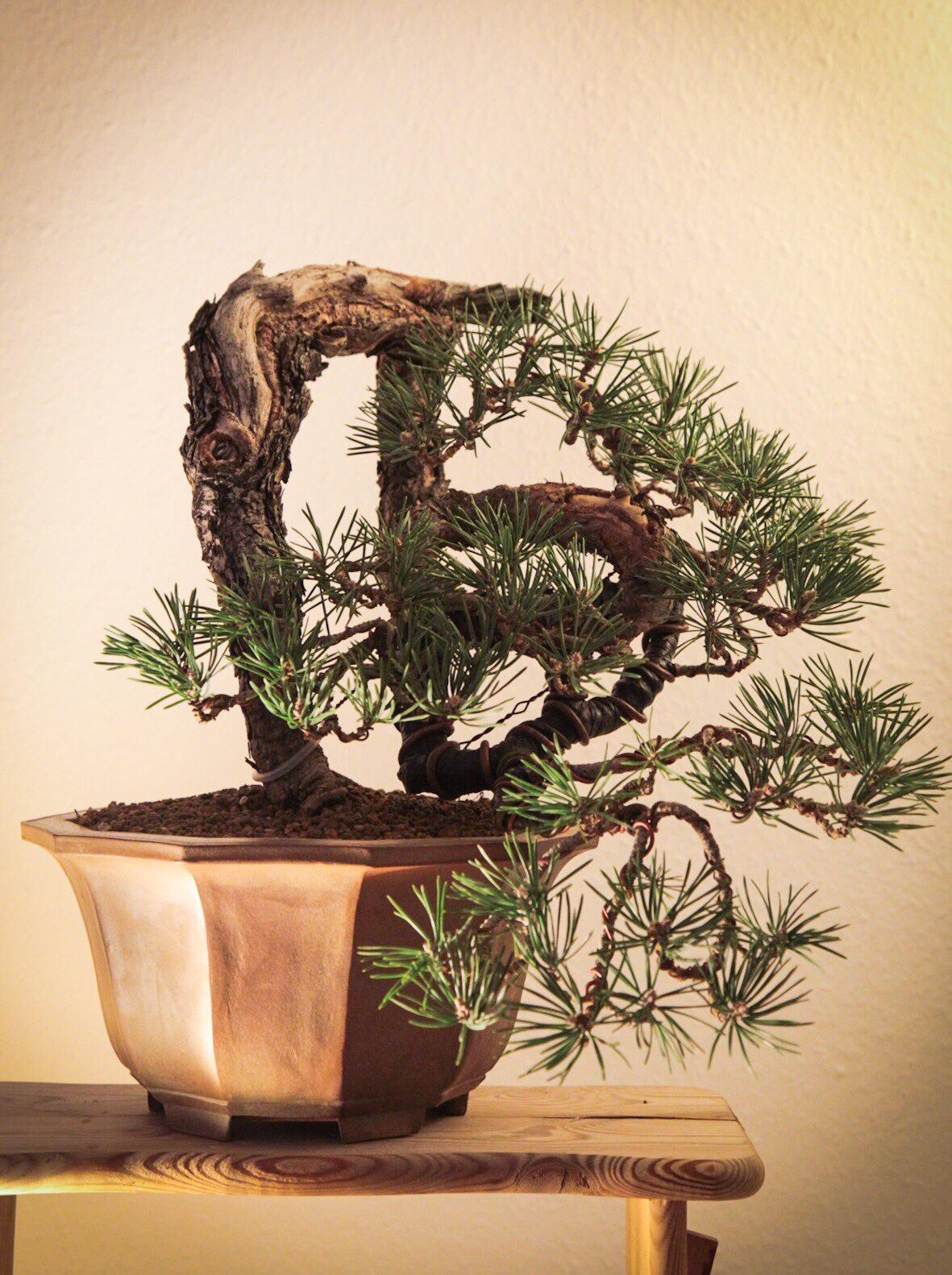 Mugo Pine 1; first styling andrepotting
