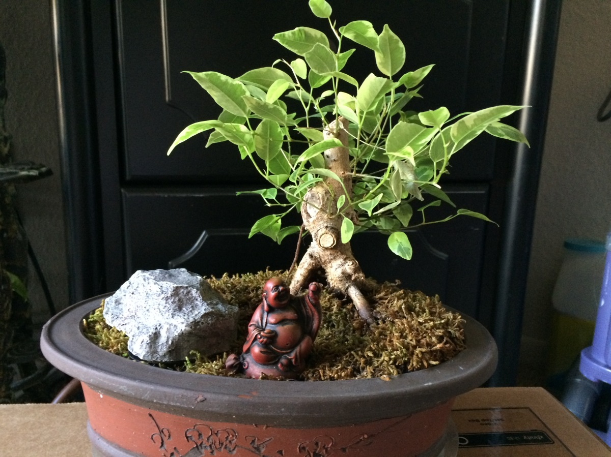 Creating a Bonsai from a Variegated Ficus
