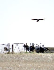MBBD Cranes & Verreaux's 3a