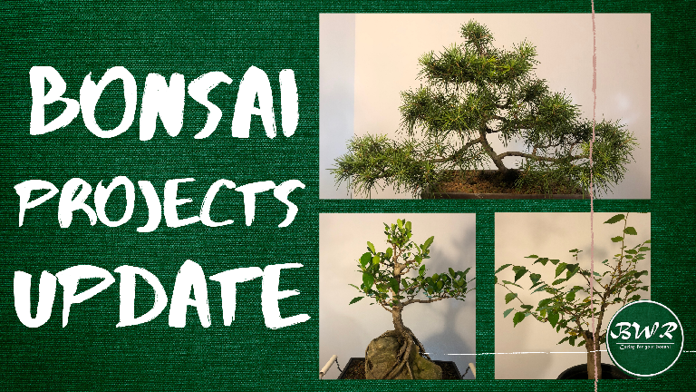 A Ficus, Cedar and a Celtis Africana, the update on projects that I have done in the past that you have been waitingfor.
