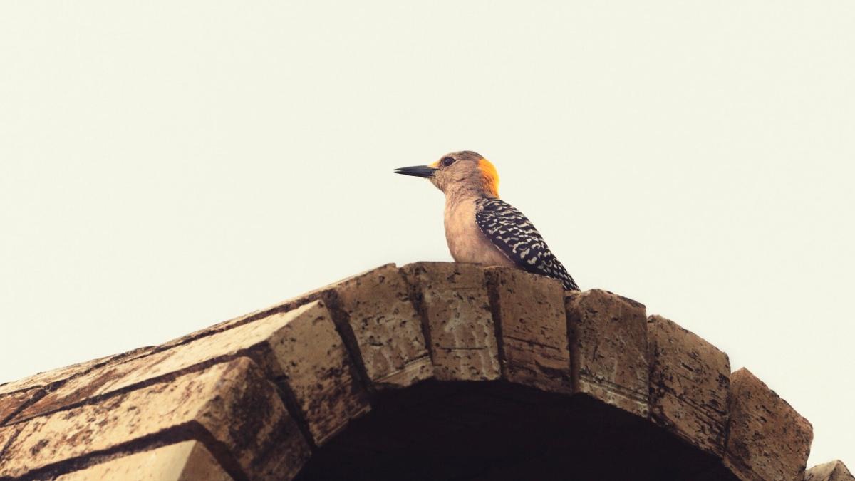 Hoffman's Woodpecker – McAllen,TX