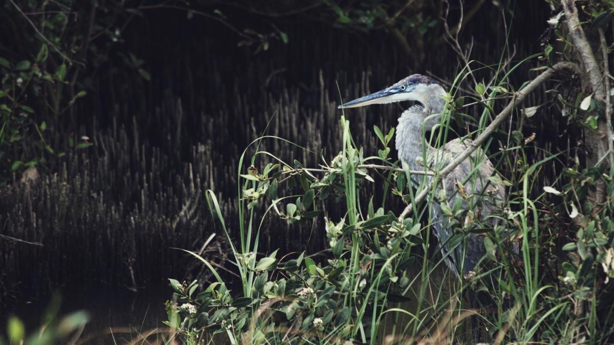 Great Blue Heron – Padre Island,TX