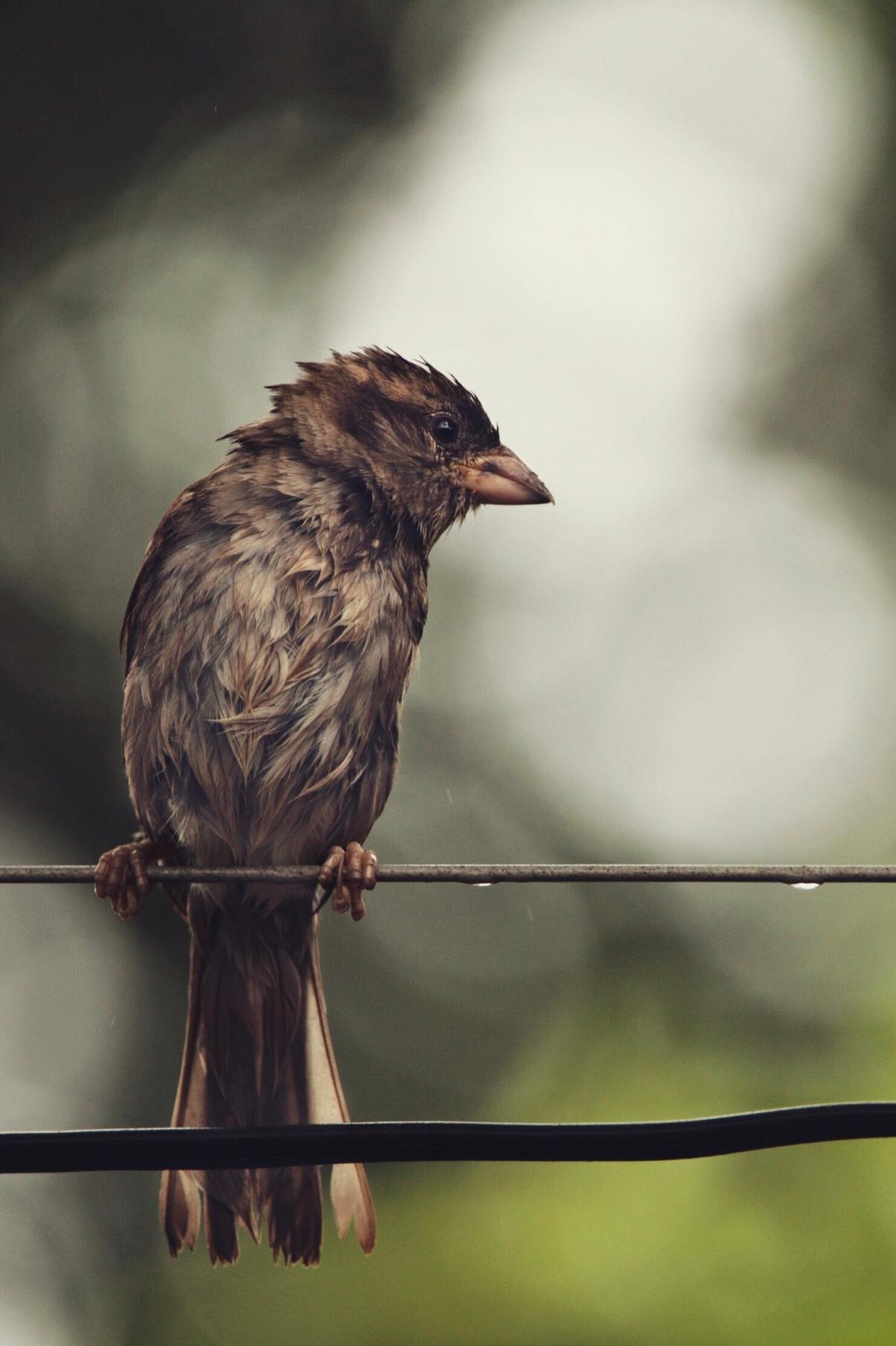 Sparrow in the rain – McAllen,TX