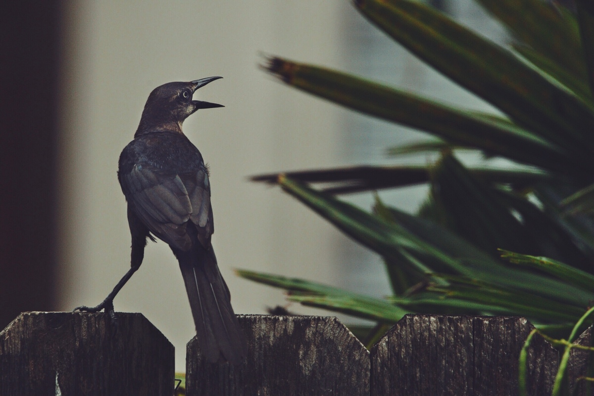 Great-tailed Grackle – McAllen,TX