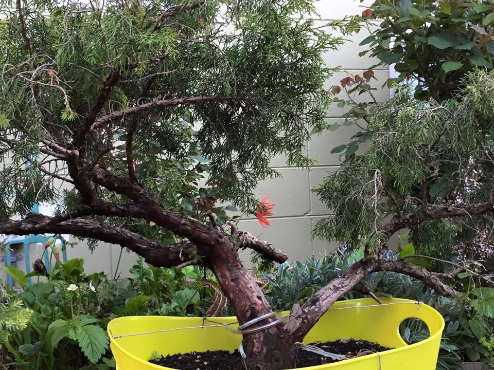 The Addiction Strikes – Collecting Bonsai Trees fromNature