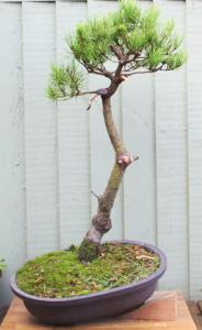 pine7