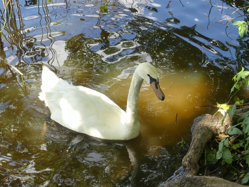 Mute Swan at Staten Island's Wolfe's Pond Park